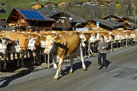 Simmentaler Kühe an einer Viehschau