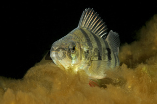 Flussbarsch, Perca fluviatilis, European Perch, Ostsee, Rostock, Warnemuende, Deutschland, Baltic Sea, Germany
