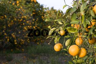 Orangenplantage Valencia