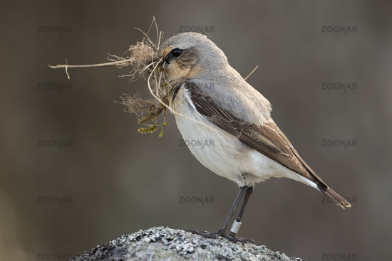 nesting preparations... Northern Wheatear *Oenanthe oenanthe*