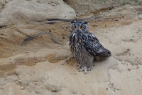 brave... Eurasian Eagle Owl *Bubo bubo*