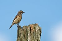 young european stonechat