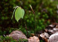 beech; beech seedling; young beech;
