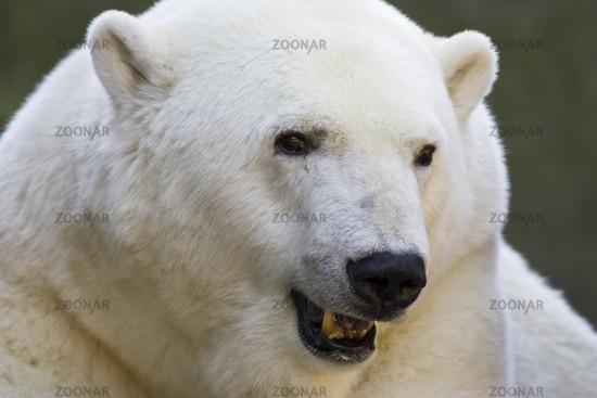 Eisbaer, Ursus maritimus, Polar Bear, zoo, Portrait