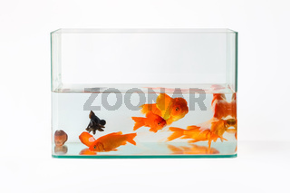 goldfish in glass fish tank isolated