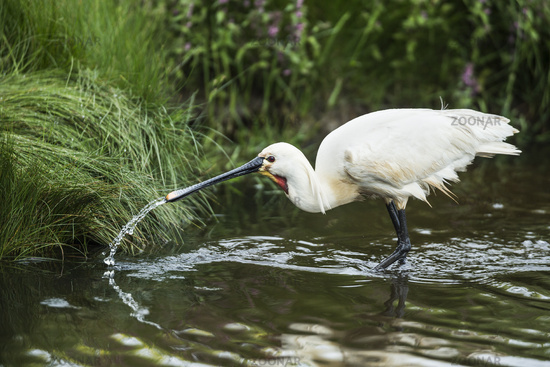 Common spoonbill drinks water