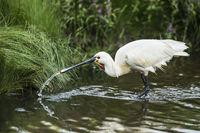 Common spoonbill drinks water