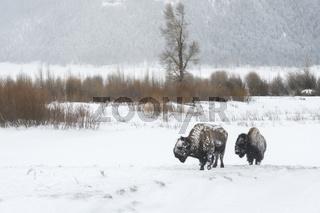 im Lamar Valley...  Amerikanischer Bison *Bison bison*
