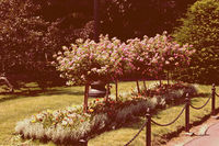 Blossoming decorative tree in garden