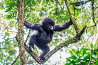 Baby Mountain gorilla playing in a tree.