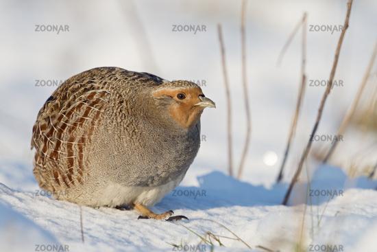 in winter... Grey Partridge *Perdix perdix*