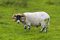 Schottisches Blackface Schaf