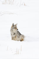 sitting in sow... Coyote *Canis latrans*