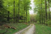 Deister - Range of hills, beech forest in spring, Germany