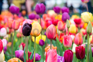 Colorful tulips in the park. Spring landscape