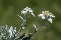 Edelweiss (Leontopodium alpinum Cass.), Valais, Switzerland