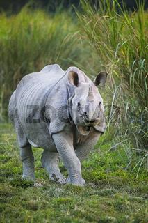 Indian One Horned Rhinoceros, Rhinoceros unicornis