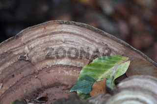 Porling (Polyporus)