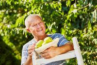 Alter Mann freut sich über Apfelernte