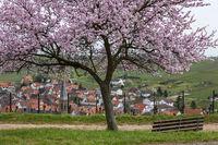 Blühender Mandelbaum (Prunus dulcis) über Birkweiler