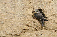 in front of its nest hole... Sand Martin / Bank Swallow  *Riparia riparia*