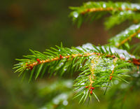 Closeup of spruce tree with ice with beautiful bokeh