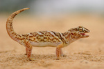 Giant ground gecko