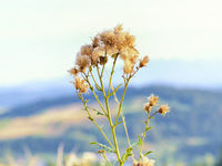 Blooming thistle on a mountain meadow