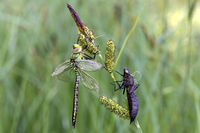 Newly hatched male Emperor dragonfly (Anax imperator)