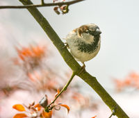 House sparrow on the twig of a tree