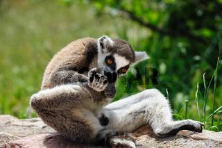 Ring-tailed Lemur licks his leg