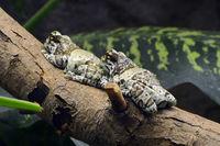 Baumhöhlen-Krötenlaubfrosch ( Phrynohyas resinifictrix) captive,