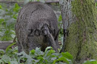 Wildschweine (Sus scrofa), Schleswig Holstein, Deutschland, Europa