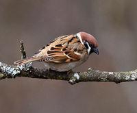 sparrow; tree sparrow; passer montanus;