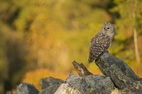 autumnal coloured woods... Ural Owl *Strix uralensis* perched on a rock in first morning light