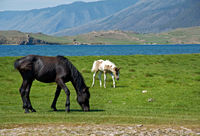 horses in the nature