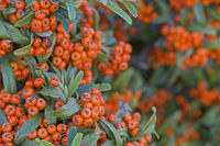 Cotoneaster - evergreen plant in autumn