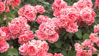 Pale pink roses shrub in garden, vintage color. Bush of beautiful pink roses