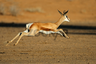 Running springbok antelope