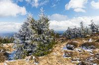Fichten am Brocken im Harz im April nach leichtem Schneefall
