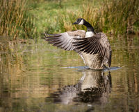 Canada Goose flapping it's wings on water you can clearly see the feathers.