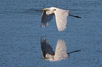 Great egret flying over a pond with reflection