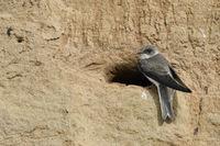 at the river bank... Sand Martin / Bank Swallow  *Riparia riparia*