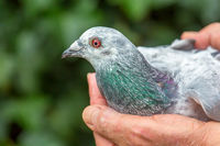 Hands holding racing pigeon outside