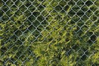 Conifer hedge behind wire mesh