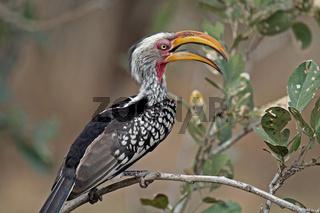 Gelbschnabeltoko, Südafrika