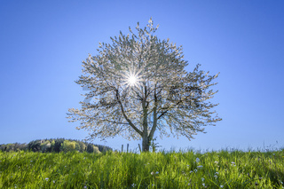 Blossoming cherry tree with sun in spring