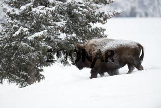 mit ein bisschen Umgebung...  Amerikanischer Bison *Bison bison*