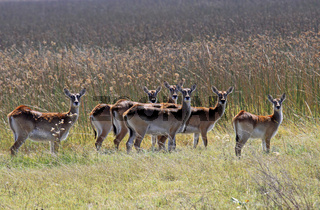 Rote Lechwe, Moorantilopen, im Moremi Wildreservat Botswana