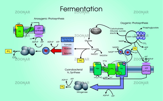 fermentation of carbohydrates ethanol from sucrose essay